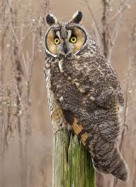 longeared owl